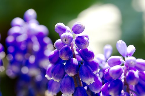 bleed  grape hyacinth  flower