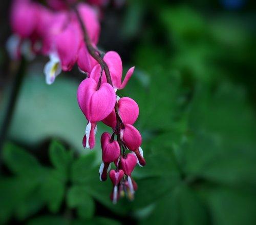 bleeding heart  flowers  pink