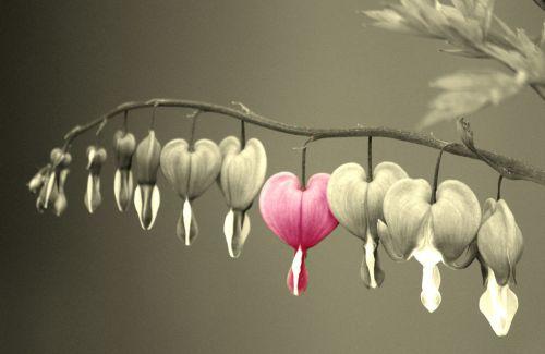 bleeding heart flowers flower