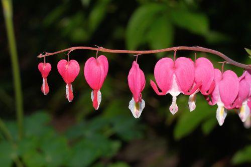 bleeding heart two tone heart flower blossom
