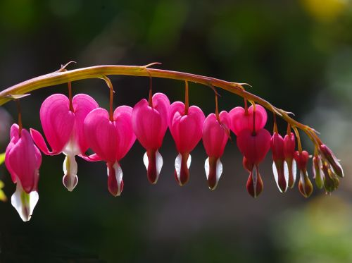 bleeding hearts hearts pink
