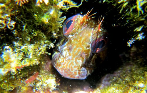 blenny fish animals