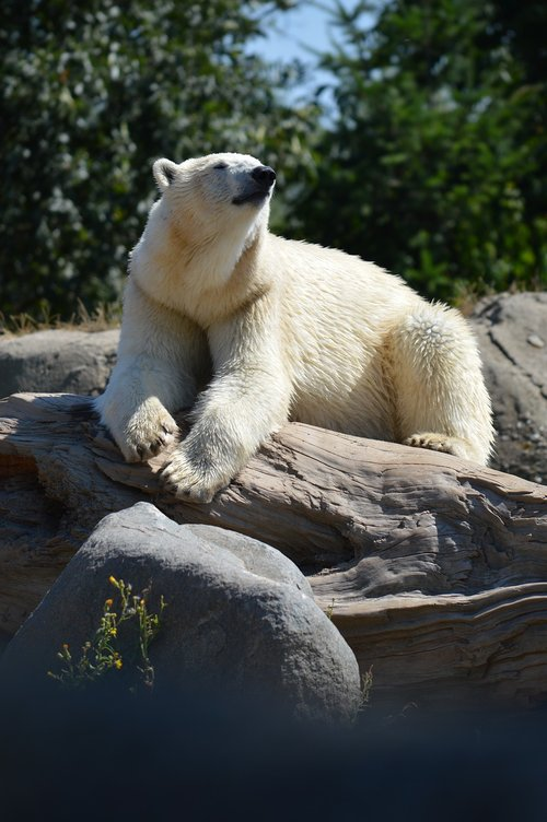 blijdorp  polar bear  zoo