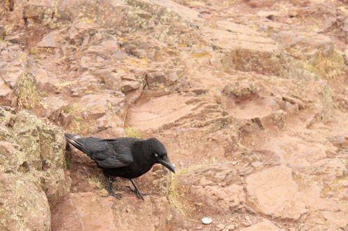 bird member of the crow family crow