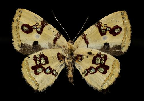 bling butterfly macro insect