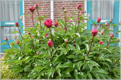 Dutch Flowers In Gardens