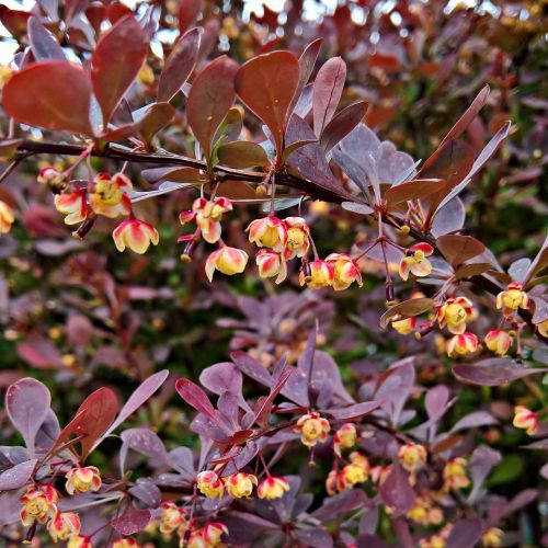 blood barberry red leaves bush