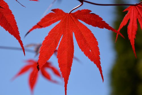 blood maple maple leaf