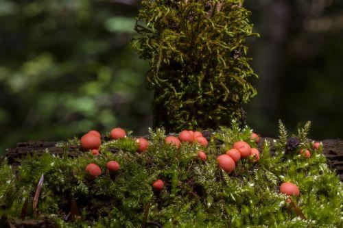 blood milk mushroom sponge small mushroom