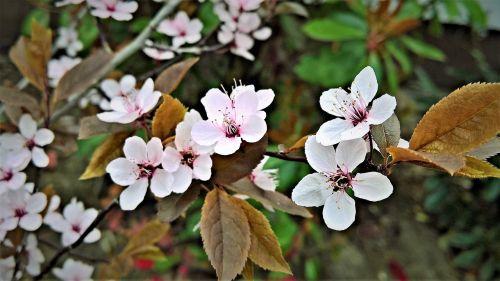 blood plum flowers plant