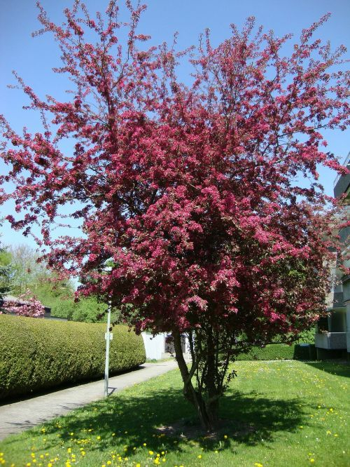 blood plum spring wiblingen