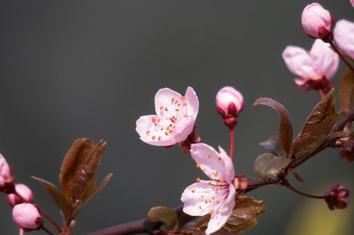 blood plum  cherry plum  blossom