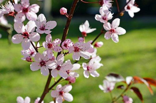 blood plum  prunus cerasifera  cherry plum