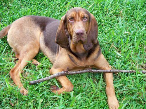 bloodhound dog liver