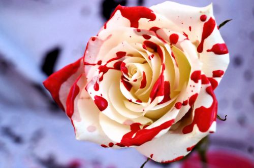 Bloody Ladybird Rose