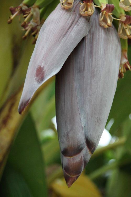 bloom banana tree nature