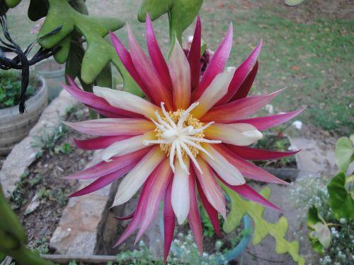 žydėti,kaktusas,gėlė,augalas,flora,žalias,kaktusai,sultingas,botanikos,vasara,žydi,botanika,Uždaryti,gamta,gėlių,violetinė,geltona,žiedlapis,rožinis