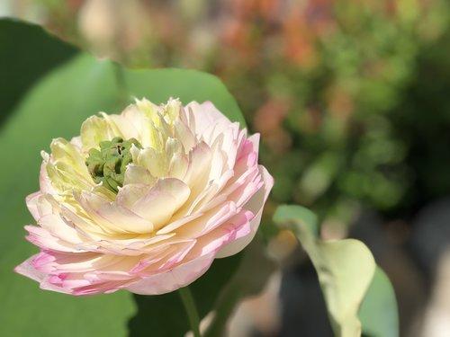 bloom  lotus  pink