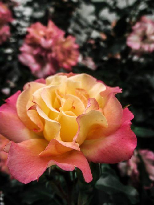 žydėti,Uždaryti,Nebaigtas,pavasaris,gėlės,švelnus,rožė,balta,švelnus,žiedas,žydėti,gamta,lapai