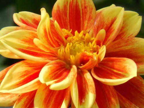 žydėti,dahlia,vasara,žiedas,pavasaris,spalva,spalvinga,gamta,augalas,gėlė,žiedlapis,botanika,raudona,sodas,subtilus,botanikos,šviežias,flora,žalias,botanikos,sezonas,spalvingas,patrauklus,gyvas,vaizdas,šviesus,mielas,geltona