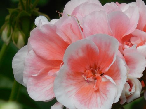 žydėti,geranium,gėlė,žiedas,augalas,gėlių,gamta,pavasaris,žydi,žalias,sodininkystė,vasara,makro,rožinis,apdaila,balta,spalva,žiedlapis,krūva,botanika,botanikos,lašiša,koralas,sezonas,puokštė,botanikos,lapai,sodas