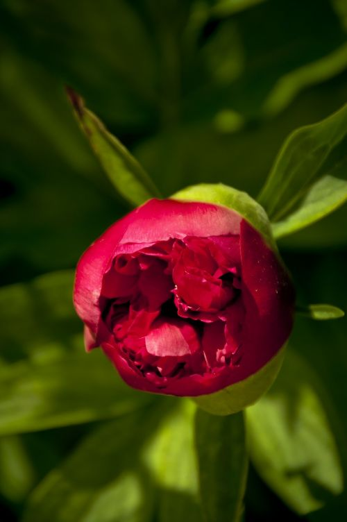 blooming peony first stages red