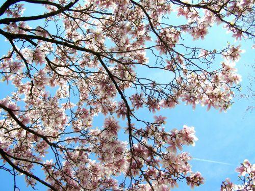 žydintis tulpių medis,magnolija,mėlynas dangus