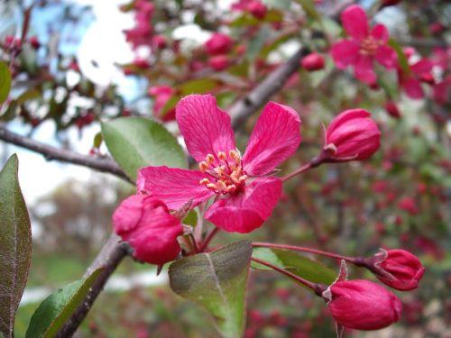 crabapple profusion pink blossom
