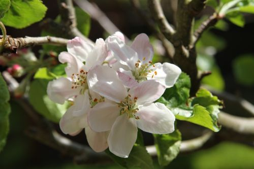 blossom,apple blossom,pink,spring,green,tree,apple tree,branches,pink blossom,white blossom,flowers,bloom,nature,plant