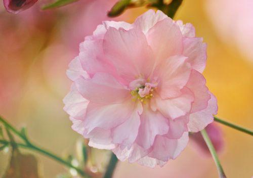 blossom bloom cherry blossom