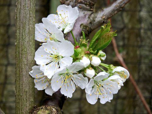 žiedas,žydėti,vaisiai,obuolių žiedas,vyšnių žiedas,medis,vitaminai,pavasaris,gamta,sodas,vaisiai,obuolys,Uždaryti,vyšnia,žiedas,vaismedžių žydėjimas,makro