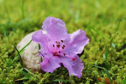 azalea blossom bloom