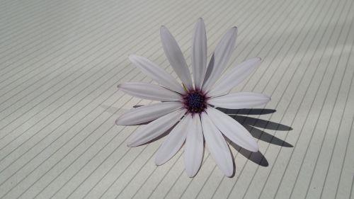 žiedas,žydėti,viršukalnės krepšys,balta,Ispanija,šešėlis,gražus,balta gėlė