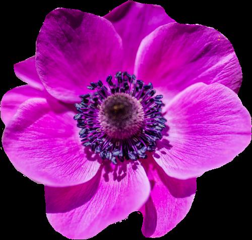 aguonos gėlė,žiedas,žydėti,violetinė,gėlė,purpurinė gėlė,vasaros gėlės,vasara,gėlė violetinė,flora,sodas,gražus,gamta