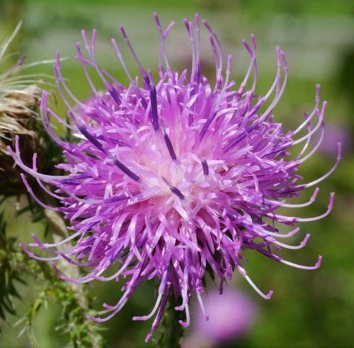 žiedas,žydėti,drakonas,keistas,Alpių regionas,Alpių,augalas,violetinė,makro,drakoninės gėlės,kelias,laukiniai