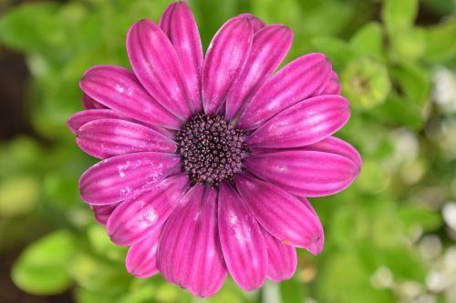 viršukalnės krepšys,kapmargarithe,žiedas,žydėti,violetinė,purpurinė gėlė,gamta,gėlė,vasara