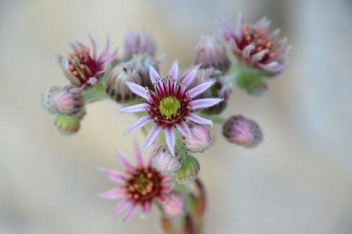 žiedas,žydėti,houseleek,žydėti,rožinis,budas,augalas,raudona violetinė