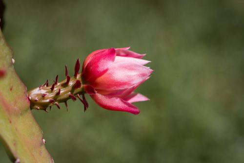 žiedas,žydėti,kaktusas žiedas,rožinis,rožinis žiedas,gamta,vasara,Uždaryti,augalas