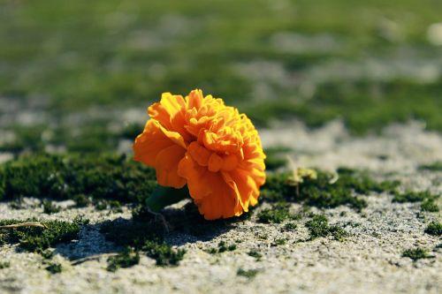 marigold blossom bloom