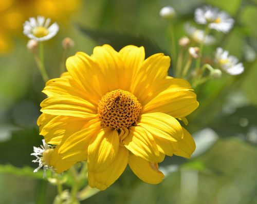 blossom bloom perennial sunflower