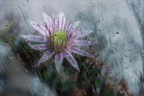 blossom rainy drops