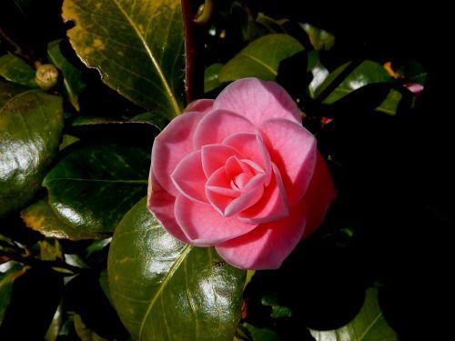 blossom bloom rose
