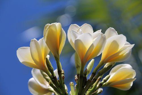 blossom white blossom flowers