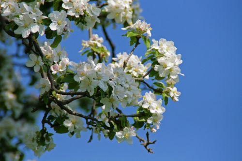 žiedas,žydėti,obuolių žiedas,Obuolių medis,obelų žiedas,pavasaris,medis,balta,gamta,obuolys,vaisiai,žiedas,Gegužė,vaisių sodas,vasara,dangus,mėlynas,gražus oras,mėlynas dangus,idilija,gražus,vaikščioti,kraštovaizdis,poilsis,nuotaika,tylus,atsipalaiduoti,lapai