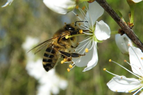 blossom insect bee