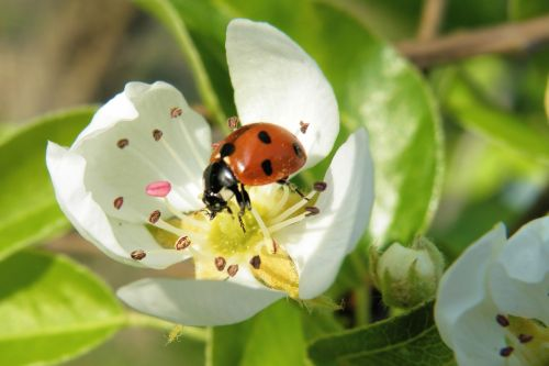 blossom insect ladybug