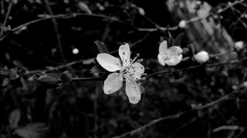 blossom bloom white blossom