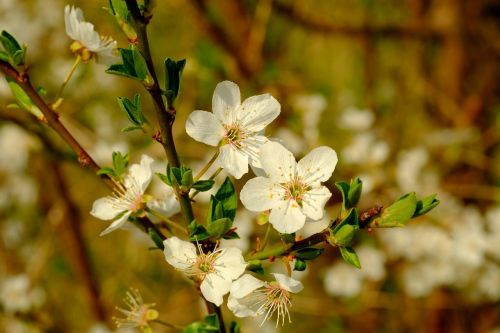 blossom,bloom,spring,nature,close,apple,bloom,tree,branch,bud,white,plant,garden,flourished,of course,beautiful,fruit tree blossoming,small,bloom blooms,macro