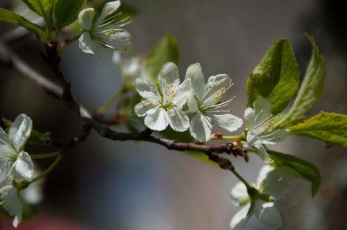 žiedas,žydėti,pavasaris,slyva,gamta,Uždaryti,augalas,medis,slyvų medis,lapai,žydėti,klesti medis,balta,filialai