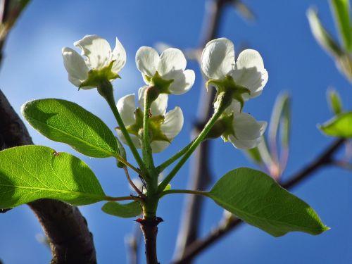 blossom white flowers white